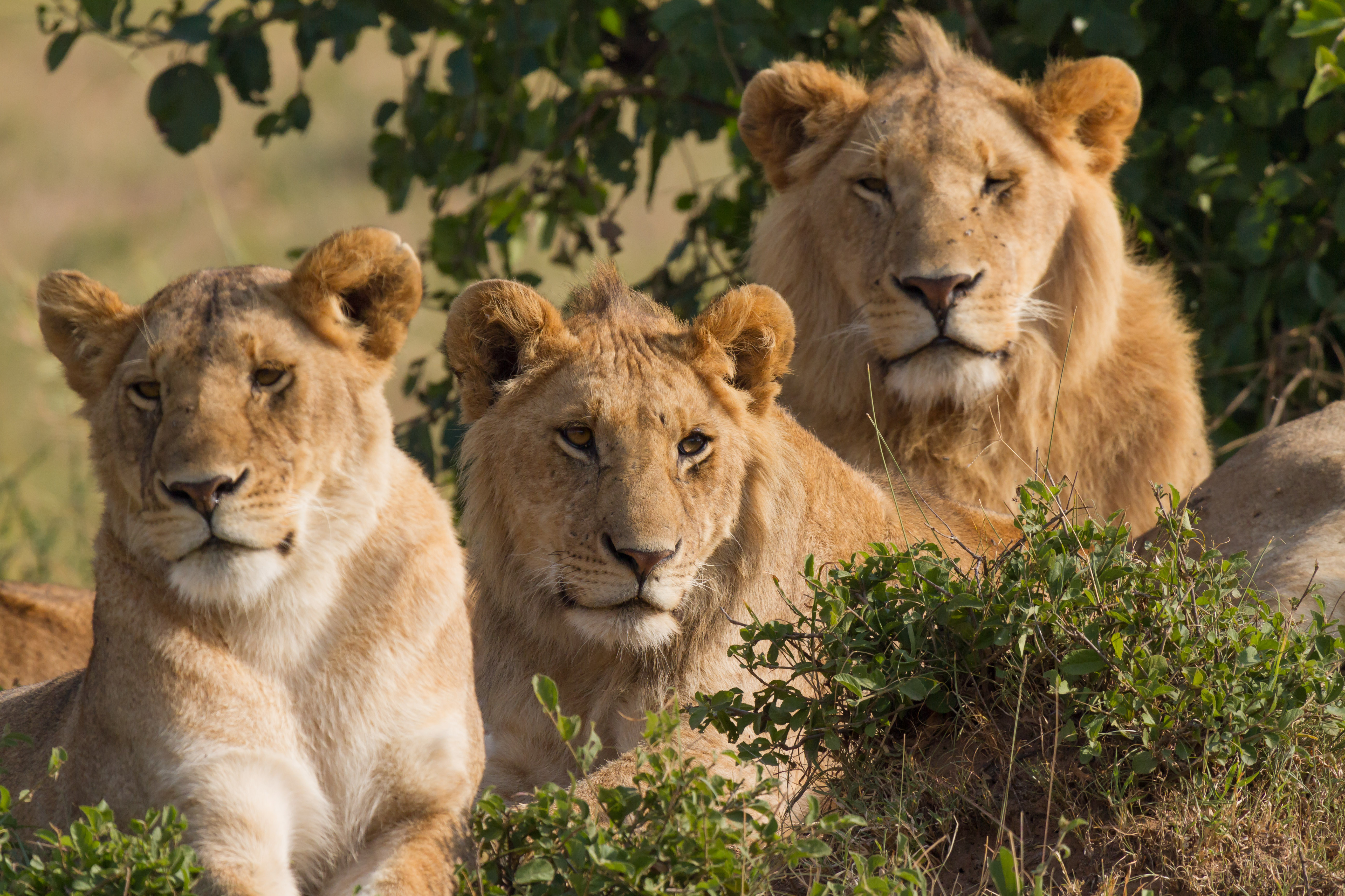 Family picture of three lions. Taken in Masai Mara national park, southwest Kenya.